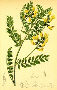 Astragalus_membranaceus