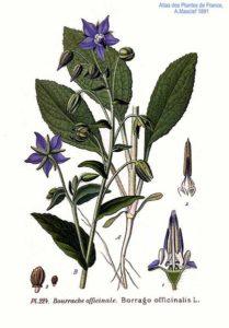 Borrago officinalis L 209x300 - Borretsch – sanfte Linderung durch Gurkenkraut