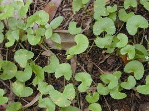 Centella asiatica 300x225 - Gotu Kola – das Wunderkraut aus Asien
