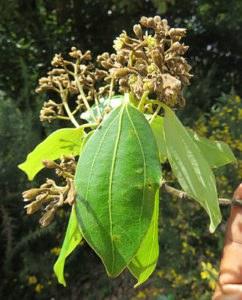 Cinnamomum wightii 242x300 - Kampfer – die Geheimwaffe gegen Muskel- und Gelenkbeschwerden