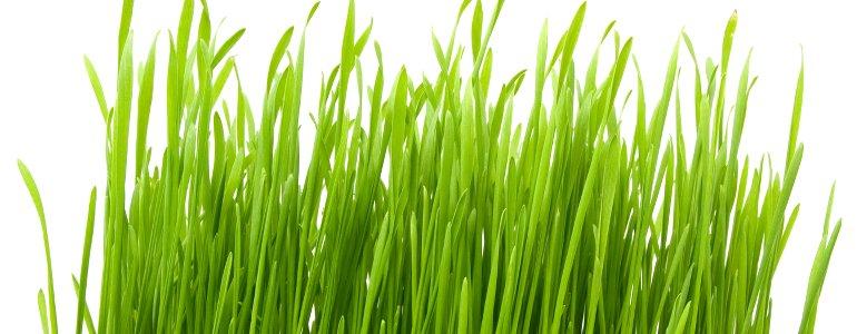 Nahrungsergänzung Gerstengras Pulver und Gerstengrassaft