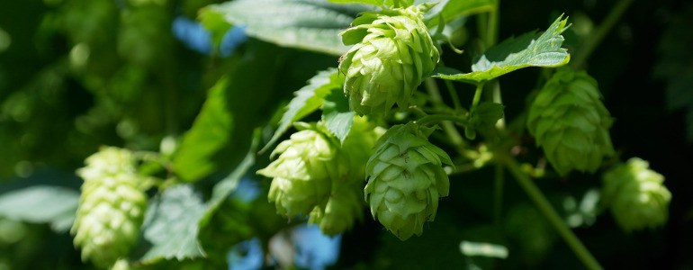Hopfen - Tag des deutschen Bieres: Prost!