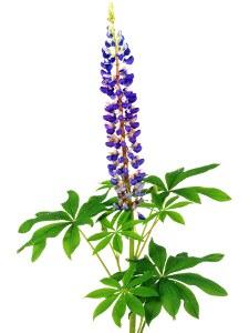 Lupine Heilpflanze