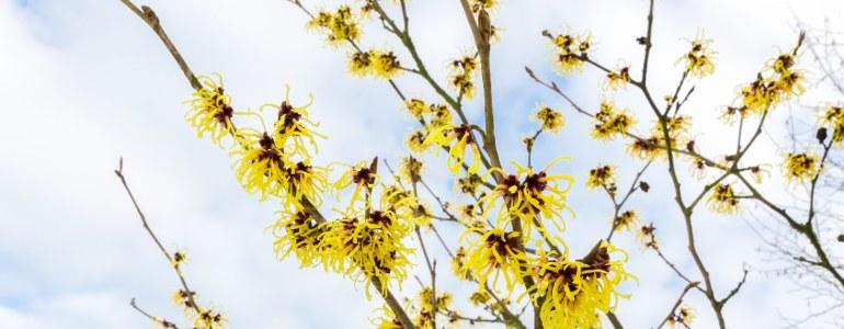 Hamamelis Heilpflanze