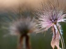 Kuhschelle Blume