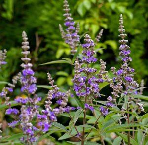 mönchspfeffer pflanze Kopie 300x295 - Mönchspfeffer – Von Keuschheit und Fruchtbarkeit