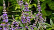 mönchspfeffer-pflanze