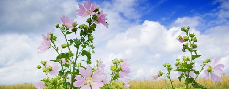 malve wirkung - Malve – Gegen Erkältungen und Hautprobleme