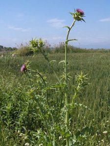 mariendistel 1 225x300 - Mariendistel - Wie die Pflanze unsere Leber schützt