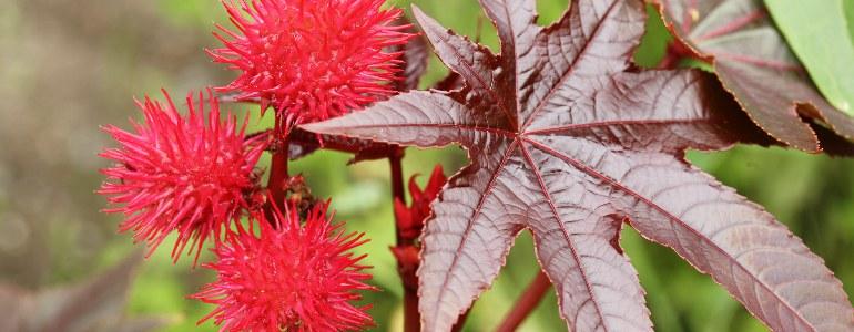 rizinusoel pflanze