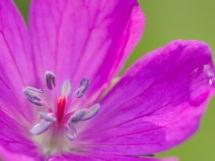 storchschnabel pflanze