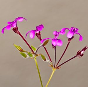 Umckaloabo pflanze