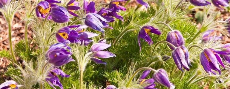 wiesen kuhschelle blume - Kuhschelle – Schöne Giftpflanze mit Heilungspotential